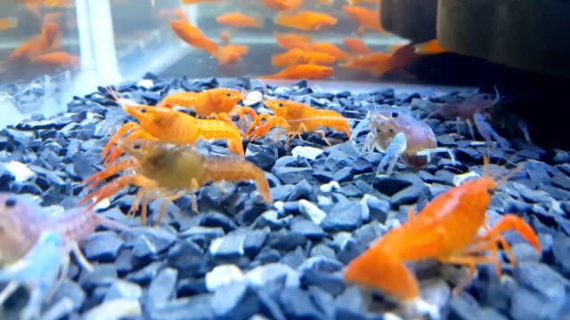 スーパーレッドクリスタルシュリンプ「サンタ」と青の大胆なヒメヌマエビ属ペットエビは淡水植えタンクで乾燥したペレットを食べる ビデオ