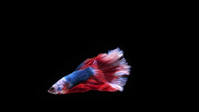 super slow motion betta or siamese fighting fish super slow motion betta splendens  in black background The beautiful slow-moving fish is a popular fish of beautiful fishers, siamese fighting fish Is another popular name called action movie stock videos & royalty-free footage