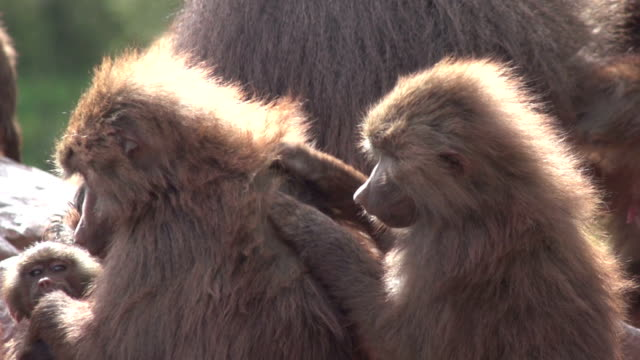 сверхскоростная съёмка hd-за бабуинами, уход за оперением друг - уход за поверхностью тела у животных стоковые видео и кадры b-roll