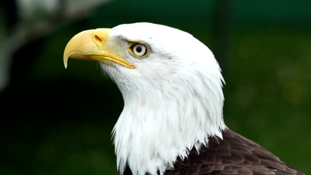 Super Slow motion HD - Bald Eagle (two) video