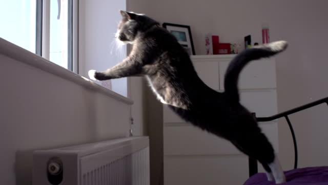 Super Slow Motion HD: Grey Cat Jumping onto window ledge video