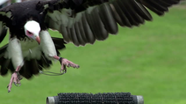 Super Slow Motion HD - Vulture landing Stock HD video clip footage of a Vulture landing - Filmed at 200fps Super Slow motion new world vulture stock videos & royalty-free footage