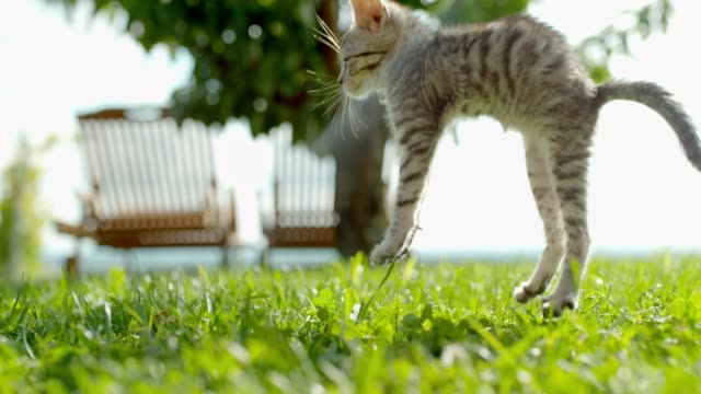 MS Super slow motion kitten falling onto sunny green grass