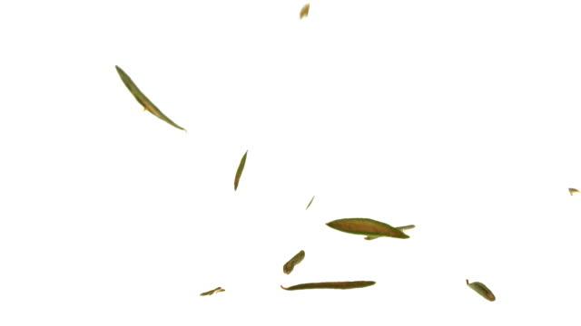 Super Slow Motion Labrador tea Falling on White Background video