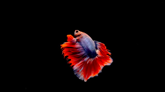 Super slow motion of vibrant Siamese fighting fish Betta splendens Super slow motion of vibrant Siamese fighting fish Betta splendens, well known as Thai Fighting Fish or betta, is a species in the gourami family which is popular as an aquarium fish desire stock videos & royalty-free footage