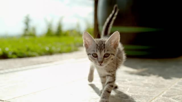 日当たりのいいパティオでカメラに向かって歩く ms スーパースローモーション肖像画好奇心子猫 - こっそり点の映像素材/bロール