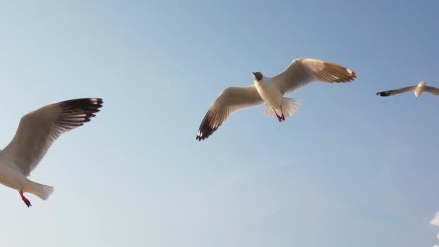 Super Slow motion Seagull Flying