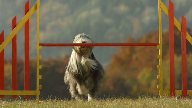 HD Super Slow-Mo: Bearded Collie Jumping Over The Hurdle video
