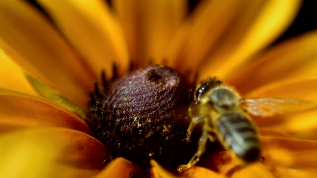 HD Super Slow-Mo: Bee Collecting Pollen HD1080p: Super Slow Motion shot of a honey bee collecting pollen on a yellow flower. pollen stock videos & royalty-free footage