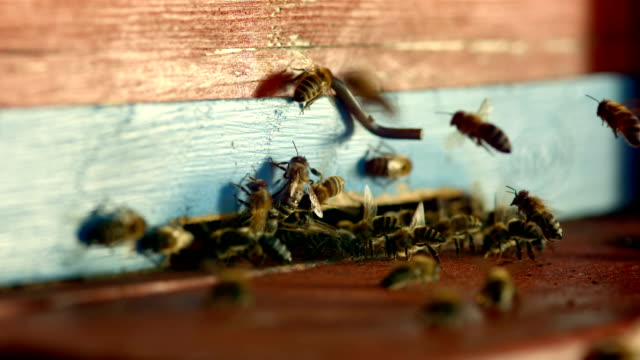HD Super Slow-Mo: Bees At The Entrance Of A Beehive video