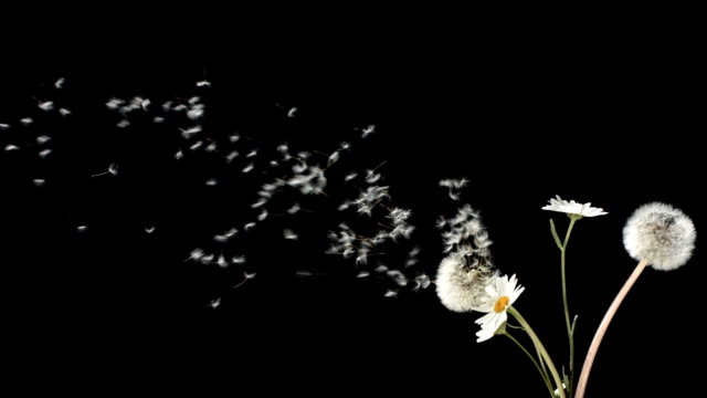 HD Super Slow-Mo: Blowing A Bunch Of Wildflowers video