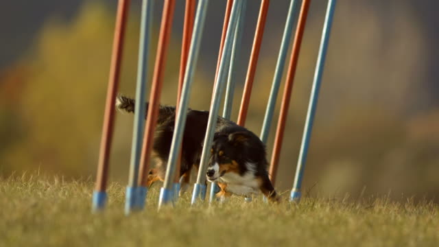 HD Super Slow-Mo: Border Collie Running Through Weave Poles video
