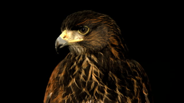 HD Super Slow-Mo: Close Up Of A Harris Hawk HD1080p: Super Slow Motion Close-Up shot of a Harris hawk shaking head. Recorded at 1050 fps falcon bird stock videos & royalty-free footage