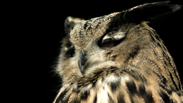 stockvideo's en b-roll-footage met hd super slow-mo: close up of a horned owl - uil