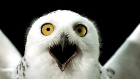 HD Super Slow-Mo: Close-Up Of A Snowy Owl HD1080p: Super Slow Motion Close-Up shot of a Snowy owl spreading wings while looking at camera with open beak. Recorded at 1050 fps fear stock videos & royalty-free footage