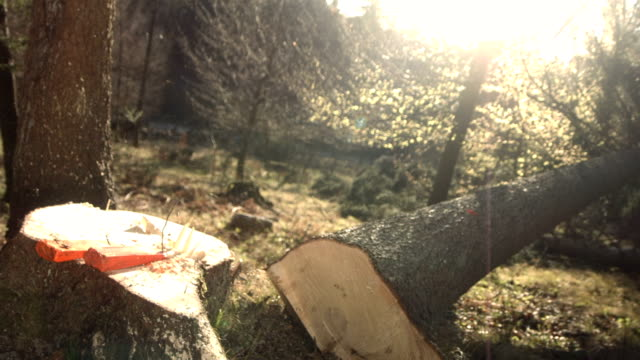 hd super slow-motion: taglio di un albero - albero caduto video stock e b–roll