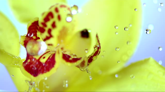 HD Super Slow-Mo: Drops Falling On A Yellow Flower video