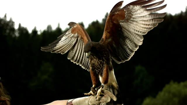 HD Super Slow-Mo: Falconer With Harris Hawk HD1080p: Super Slow Motion shot of a Harris hawk spreading wings while falconer holding him on a glove. Recorded at 1050 fps falcon bird stock videos & royalty-free footage