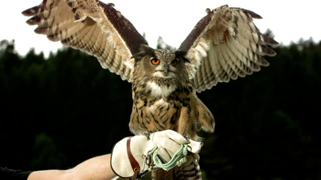 HD Super Slow-Mo: Falconer With Horned Owl HD1080p: Super Slow Motion shot of a Horned owl spreading wings while falconer holding her on a glove. Recorded at 1050 fps falcon bird stock videos & royalty-free footage