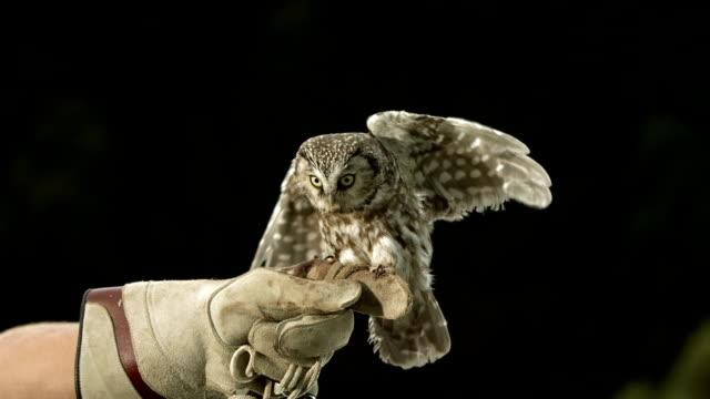 hd super slow-motion: falconer con civetta comune - guanto indumento sportivo protettivo video stock e b–roll