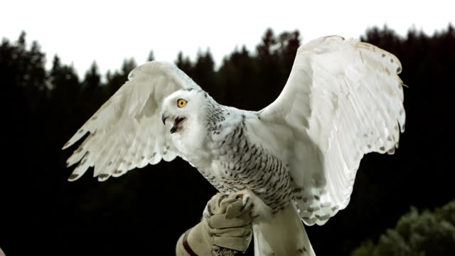 HD Super Slow-Mo: Falconer With Snowy Owl HD1080p: Super Slow Motion shot of a Snowy owl spreading wings while falconer holding her on a glove. Recorded at 1050 fps falcon bird stock videos & royalty-free footage