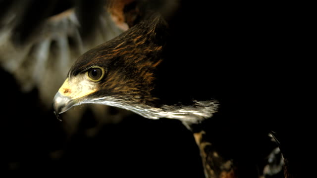 HD Super Slow-Mo: Flying Harris Hawk HD1080p: Super Slow Motion Close-Up shot of a Harris hawk flying over black background. Recorded at 1050 fps falcon bird stock videos & royalty-free footage