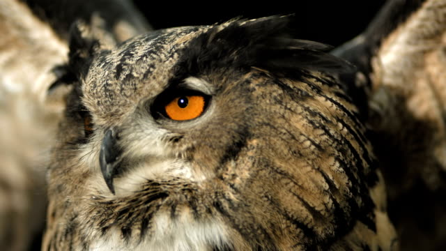 HD Super Slow-Mo: Flying Horned Owl HD1080p: Super Slow Motion Close-Up shot of a Horned owl spreading wings. Recorded at 1050 fps hawk bird stock videos & royalty-free footage