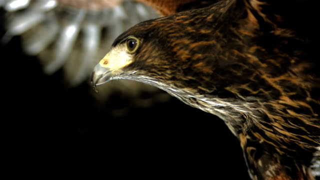 HD Super Slow-Mo: Harris Hawk Flying At Night HD1080p: Super Slow Motion Close-Up shot of a Harris hawk flying over black background. Recorded at 1050 fps animal wing stock videos & royalty-free footage