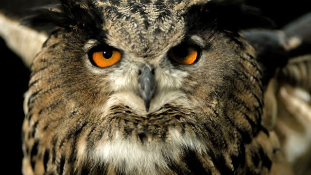 HD Super Slow-Mo: Horned Owl Spreading Wings HD1080p: Super Slow Motion Close-Up shot of a Horned owl spreading wings while looking at camera . Recorded at 1050 fps falcon bird stock videos & royalty-free footage