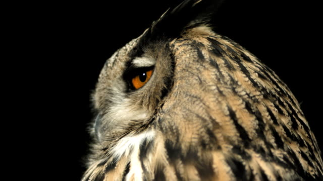 HD Super Slow-Mo: Horned Owl Turning Head HD1080p: Super Slow Motion Close-Up shot of a Horned owl turning her head while looking at something. Recorded at 1050 fps falcon bird stock videos & royalty-free footage