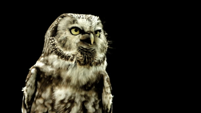 HD Super Slow-Mo: Little Owl Calling video