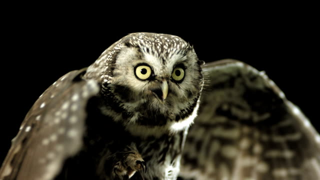 HD Super Slow-Mo: Little Owl Spreading Wings HD1080p: Super Slow Motion shot of a Little owl spreading wings while looking at camera with open beak. Recorded at 1050 fps animal wing stock videos & royalty-free footage