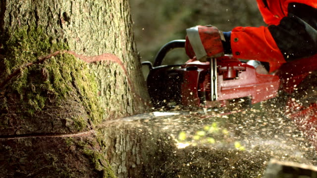 HD Super Slow-Mo: Logger Cutting A Humbolt Notch video