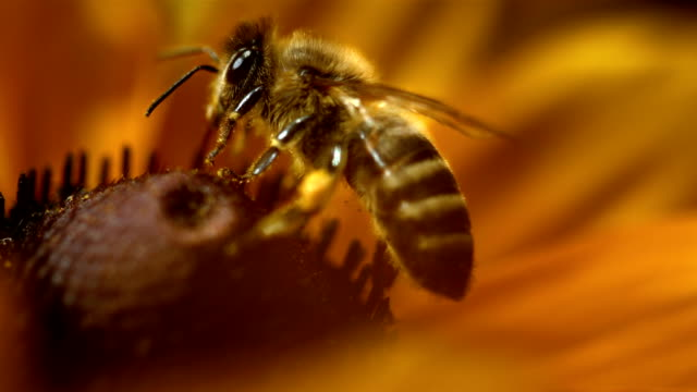 HD Super Slow-Mo: Macro Shot Of A Bee Collecting Pollen video