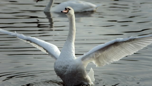HD Super Slow-Mo: Mute Swan Spreading Wings HD1080p: Super Slow Motion shot of a swan spreading wings while swimming on the lake. Recorded at 1050 fps animal wing stock videos & royalty-free footage