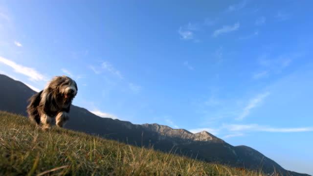 hd super slow-motion: di razza collie barbuto in esecuzione sull'erba - pelo animale video stock e b–roll