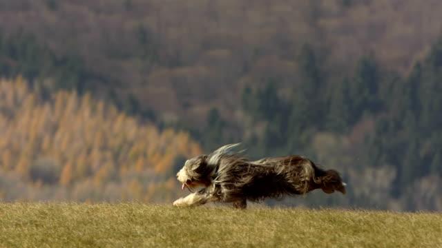 hd super slow-mo: purebred dog running on the lawn - djurhår bildbanksvideor och videomaterial från bakom kulisserna