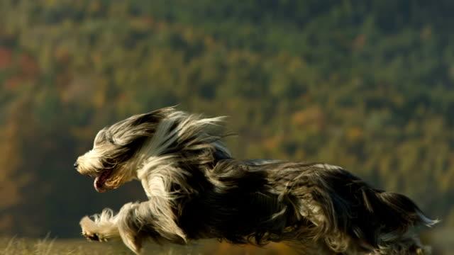 vídeos y material grabado en eventos de stock de hd super cámara lenta: perro de pura raza corriendo a través de la hierba - peludo
