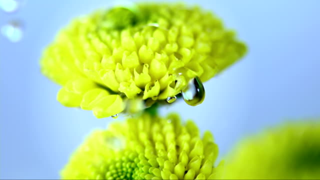 HD Super Slow-Mo: Raining On Yellow Flowers video