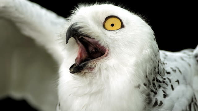 stockvideo's en b-roll-footage met hd super slow-mo: snowy owl calling - uil
