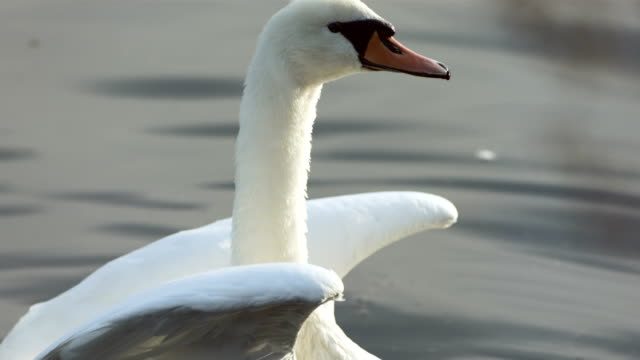 HD Super Slow-Mo: Swan Spreading Wings HD1080p: Super Slow Motion shot of a swan spreading wings while swimming on the lake. Recorded at 1050 fps animal wing stock videos & royalty-free footage