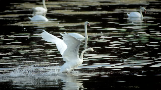 HD Super Slow-Mo: Swan Taking Off HD1080p: Super Slow Motion shot of a swan spreading wings and trying to take off while swimming on the lake with others swans. Recorded at 1050 fps animal wing stock videos & royalty-free footage