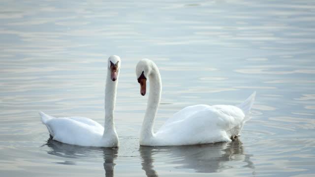 super zeitlupe, hd: swan's heart shape - schwan stock-videos und b-roll-filmmaterial