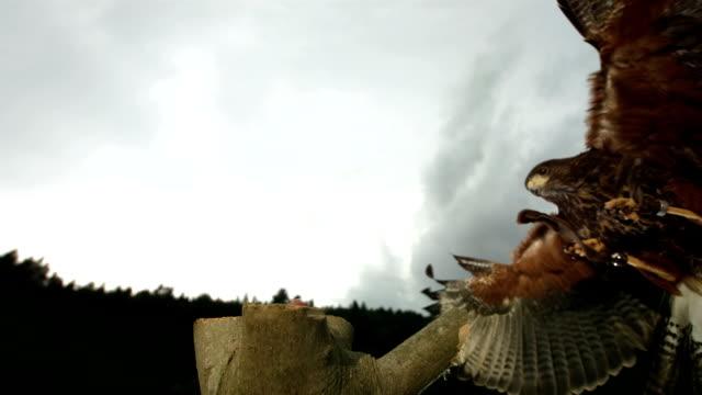 HD Super-Slow Mo: Harris Hawk Hunting Its Prey video