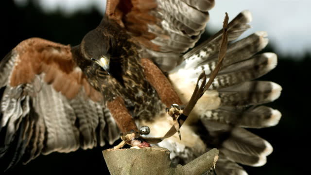 HD Super-Slow Mo: Hawk Hunting For Prey HD1080p: Super Slow Motion shot of a Harris hawk landing on the branch with a prey. Recorded at 1050 fps falcon bird stock videos & royalty-free footage