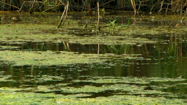Surface of a marshy pond. HD Surface of a marshy pond. Summer, сloudy. Medium shot, locked down.  duckweed stock videos & royalty-free footage