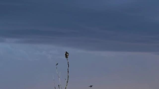 Swainson's Hawk and Blue Jay (audio)