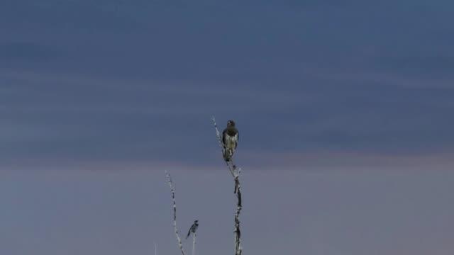 Swainson's Hawk and Blue Jay