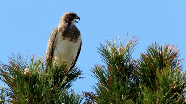Swainsons hawk vocalizes Cherry Creek State Park Denver Colorado video