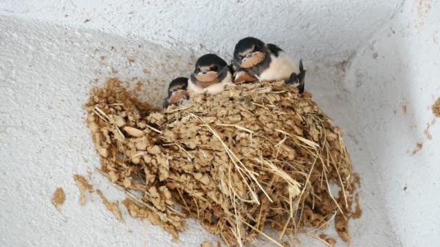 schlucken sie die jungen im nest füttern warten - nest stock-videos und b-roll-filmmaterial